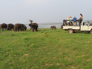 Minneriya safari tours (2)