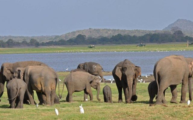Elephants are gathered at the edge of Minneriya Tank