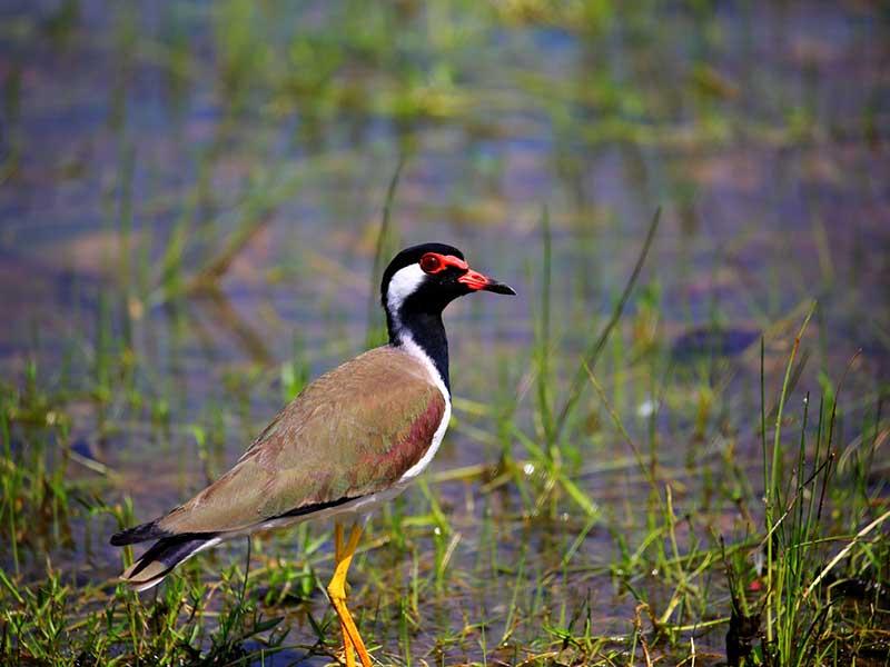 sri lanka birds (1)
