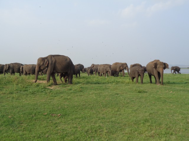 Kaudulla Safari Tours (38)